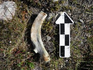 Whale bone with saw marks (by CBC News)