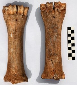 Left metacarpal of a bison from l'Aven de l'Arquet belonging to the extinct wisent (by Popular Archaeology)