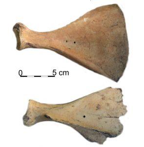 Cow shoulder-bone with punctures (by Łukasz Oleszczak)
