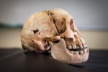 More data of Homo floresiensis' origin