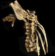 Intact spine of Australopithecus toddler found in Ethiopia