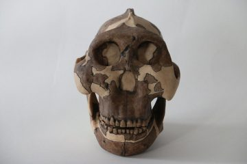 Paranthropus boisei possibly the first hominin infected with herpes viruses